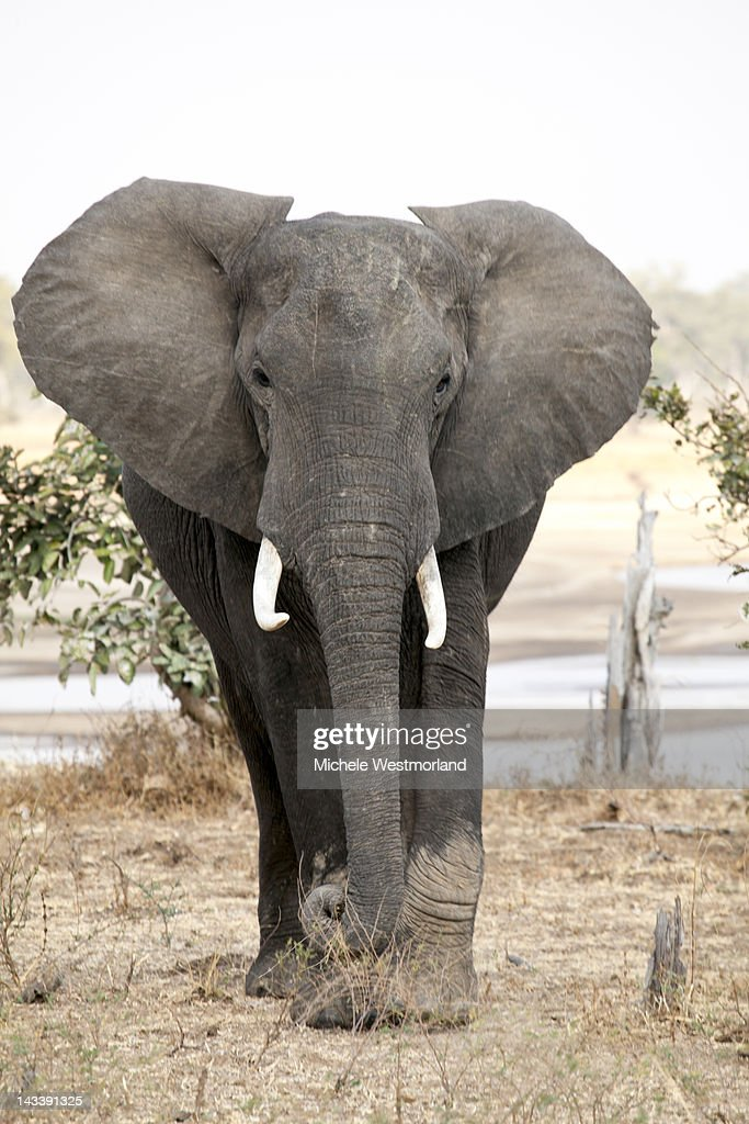 African Elephant : Stockfoto