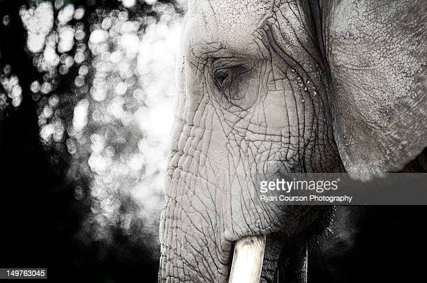 african elephant - elephant face stock photos and pictures