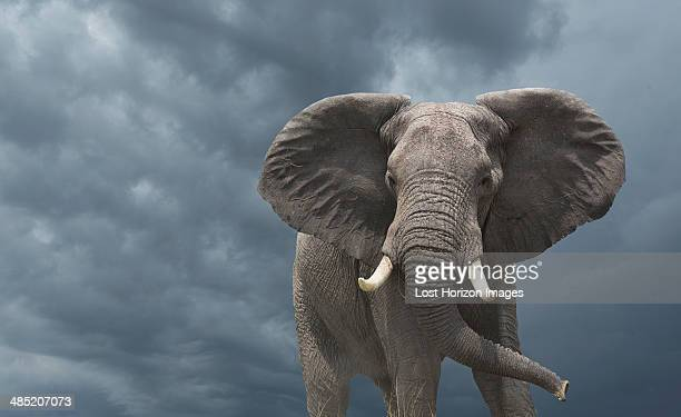 african elephant  (loxodonta africana) - elephant stock pictures, royalty-free photos & images