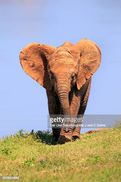 african elephant - eastern cape stock pictures, royalty-free photos & images