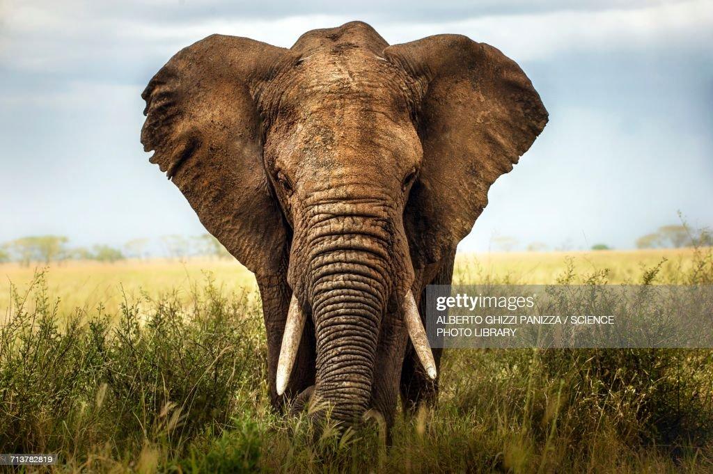 African elephant : Stock Photo