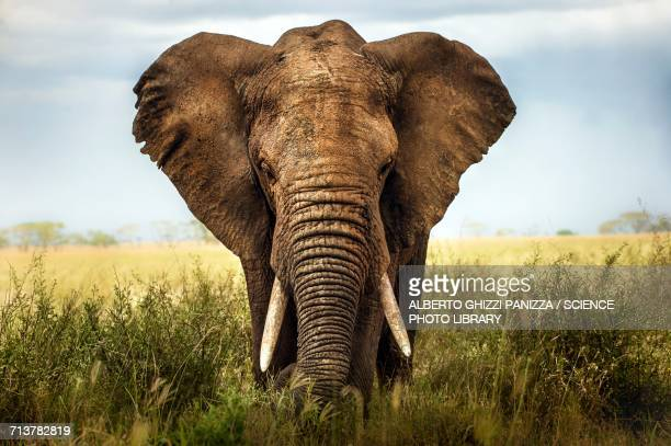 african elephant - elephant stock pictures, royalty-free photos & images