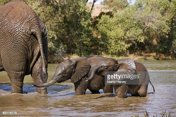 african elephant (loxodonta africana) - gauteng province stock pictures, royalty-free photos & images