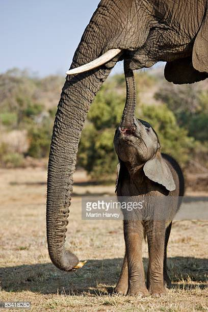 african elephant (loxodonta africana) - baby elephant stock photos and pictures