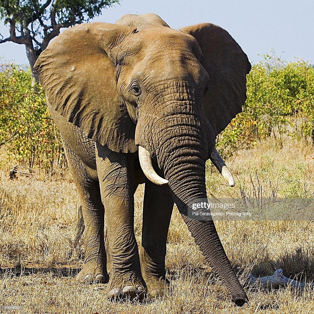 African Elephant : Bildbanksbilder
