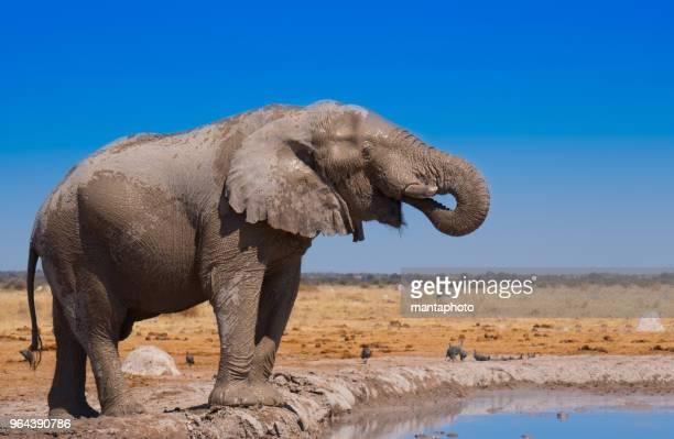 african elephant - elefante foto e immagini stock