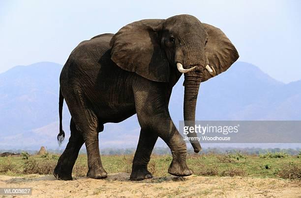 african elephant - 一匹 ストックフォトと画像