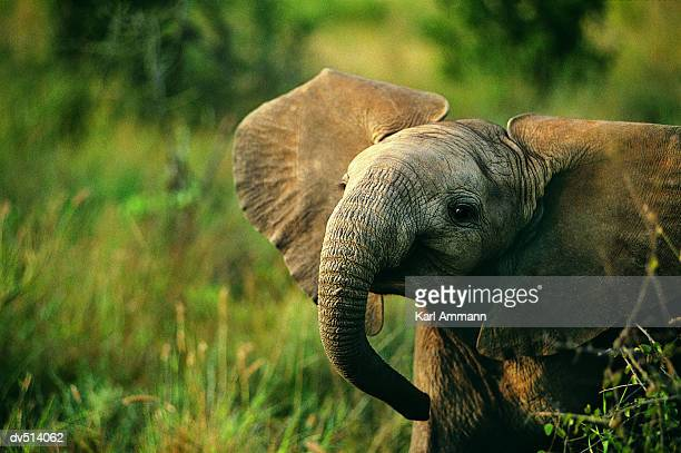 african elephant (loxodonta africana) - elephant face stock photos and pictures