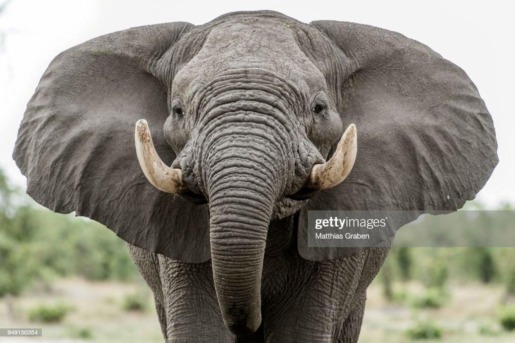 African elephant (Loxodonta africana), Portrait with extended ears, aggressive, Close Up, Marabou Pan, Savuti, Chobe National Park, Chobe District, Botswana : Stock Photo