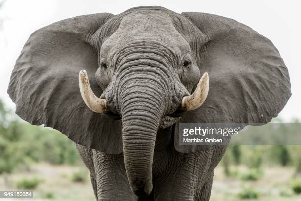 african elephant (loxodonta africana), portrait with extended ears, aggressive, close up, marabou pan, savuti, chobe national park, chobe district, botswana - elephant head stock-fotos und bilder