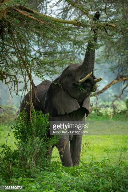 African elephant (Loxodonta africana) raising trunk to reach branch and pick leafy branches in clearing, Ngorongoro Crater