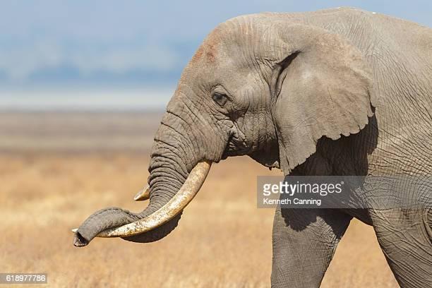 African Elephant resting his trunk on his tusk, Ngorongoro Tanzania