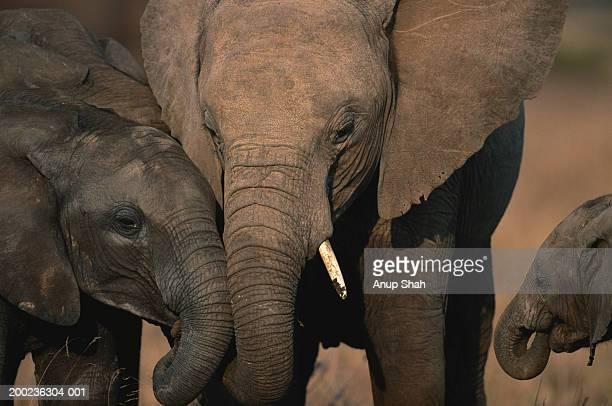 African elephant (Loxodonta africana) rubbing trunks with elephant calf, Masai Mara N.R, Kenya