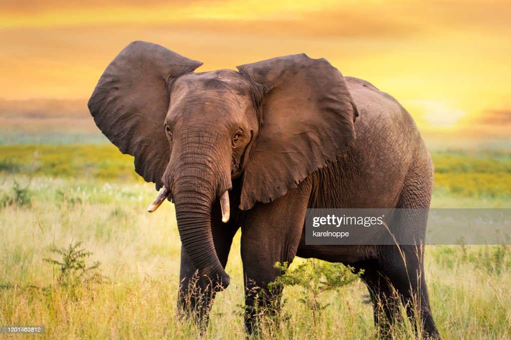 African elephant standing in grassland at sunset. : Stock Photo