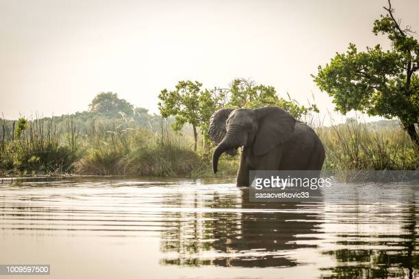african elephant standing in water - safari animals stock pictures, royalty-free photos & images