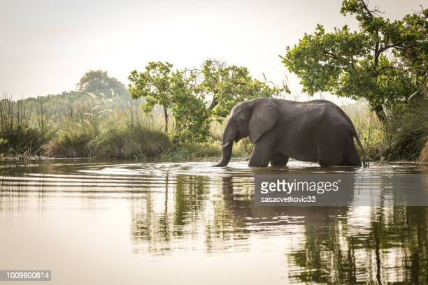 african elephant standing in water - elephant stock pictures, royalty-free photos & images