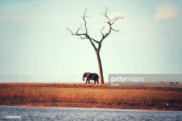 african elephant standing near a bare tree - one animal stock pictures, royalty-free photos & images