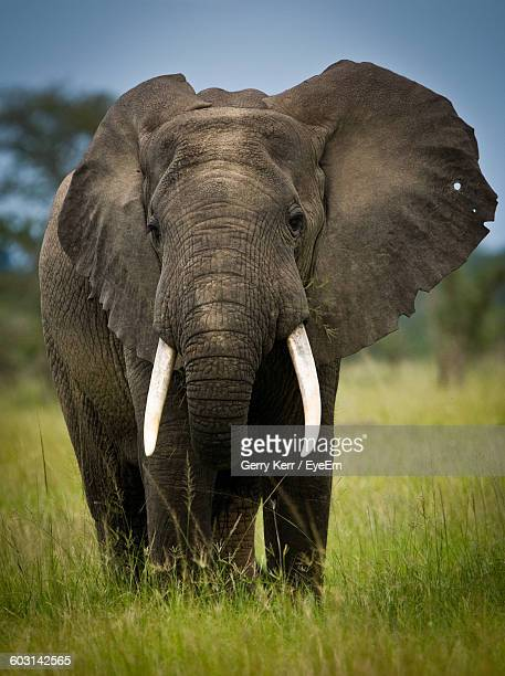 African Elephant Standing On Grassy Field