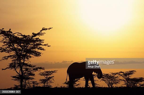 African elephant (Loxodonta africana), standing on savannah, Kenya