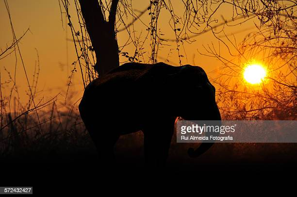 African elephant sunset