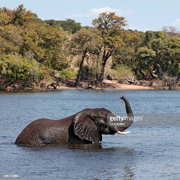 African Elephant wading; Chobe River, Botswana, trunk raised.