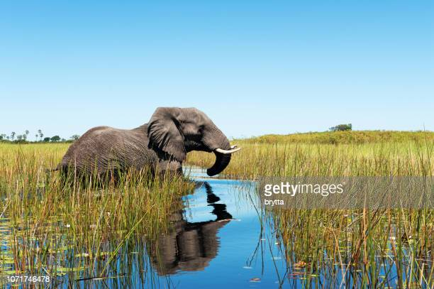 african elephant wading through the wetlands , botswana - okavango delta stock pictures, royalty-free photos & images