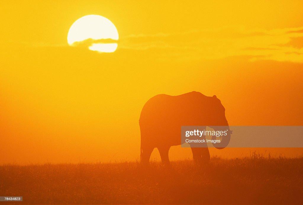 African elephant walking at sunset , Kenya , Africa : Stockfoto