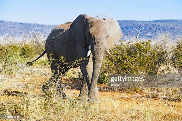 African elephant walking  in the bushes and looking at the camera in the Madikwe Game Reserve in South Africa