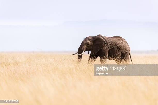 afrikanischer elefant, der in freier wildbahn spazieren geht. - einzelnes tier stock-fotos und bilder