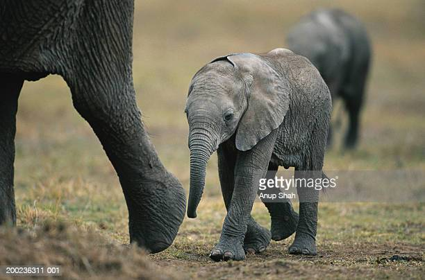 African elephant (Loxodonta africana) walking, Masai Mara, Kenya