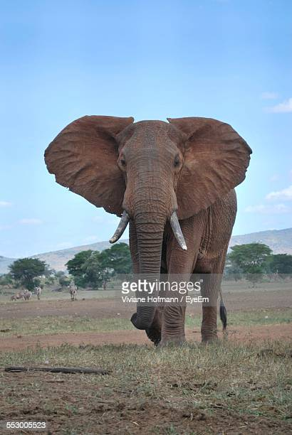 African Elephant Walking On Field Against Sky
