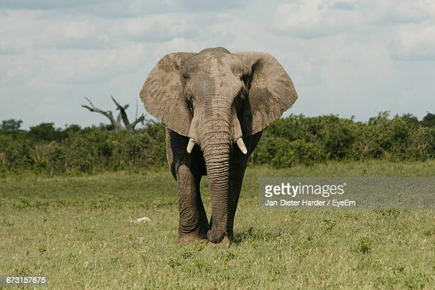 African Elephant Walking On Grassy Field Against Sky