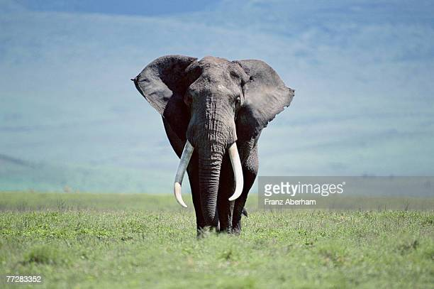 African elephant walking on savannah