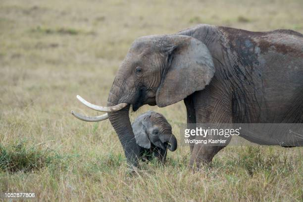 African elephant with a baby in the grasslands of the Masai Mara National Reserve in Kenya