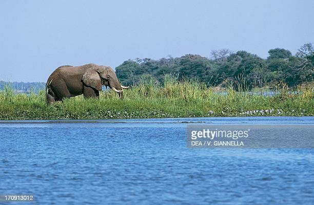 African Elephant with an Egret on the back, Lower Zambezi National Park, Zambia.