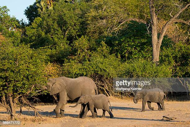 African elephant with babies in Liwonde National Park Malawi