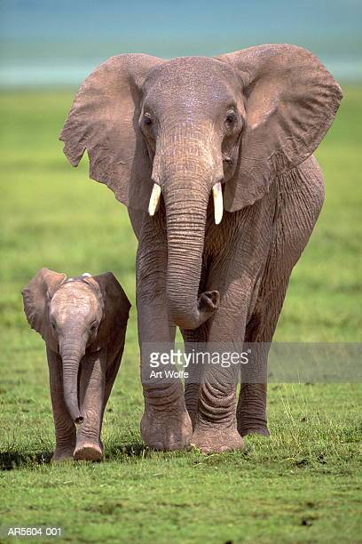 African elephant (Loxodanta africana) with calf (Composite)