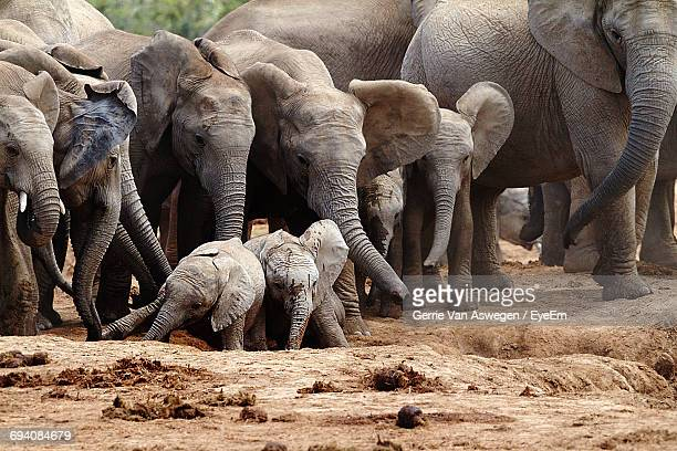 african elephant with calves on field - cacca foto e immagini stock
