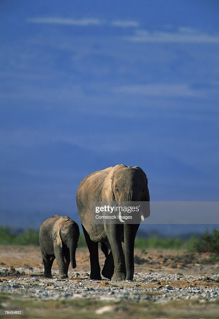 African elephant with offspring , Kenya , Africa : Foto de stock