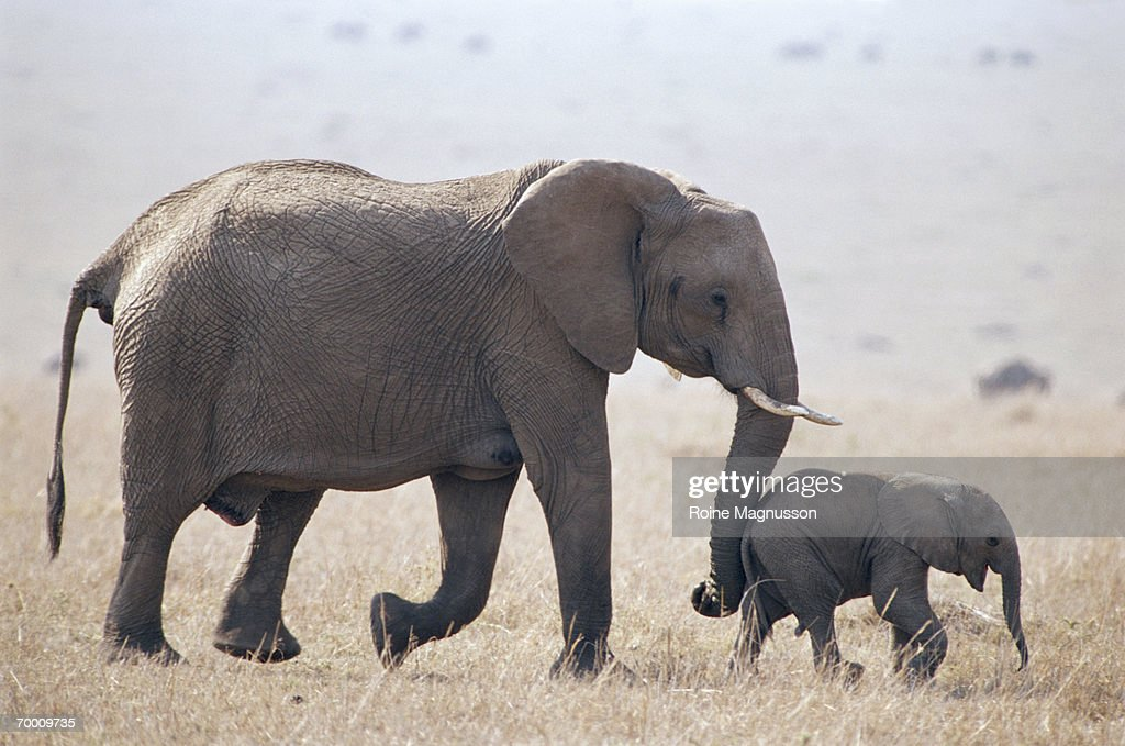 African elephant (Loxodonta africana) with young : Stock Photo