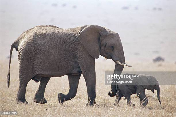African elephant (Loxodonta africana) with young