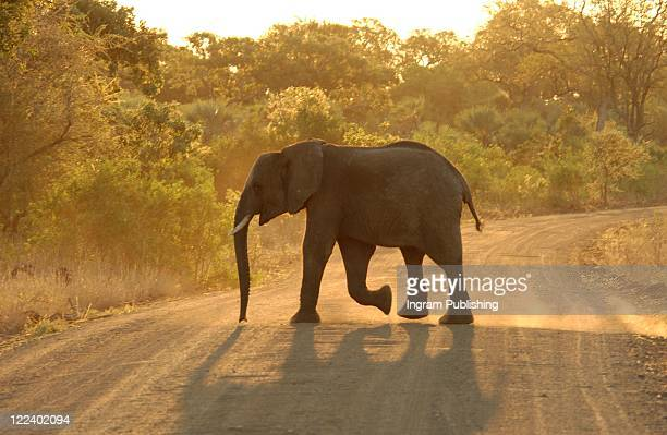 african elephant zoological zoology - big nose stock photos and pictures
