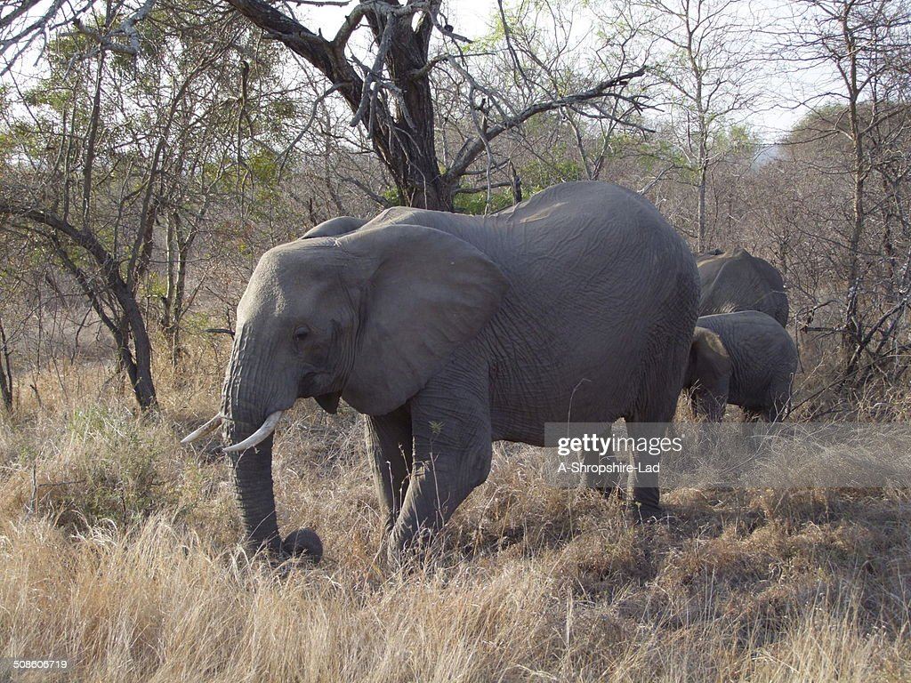 African Elephants 016 : Stock Photo