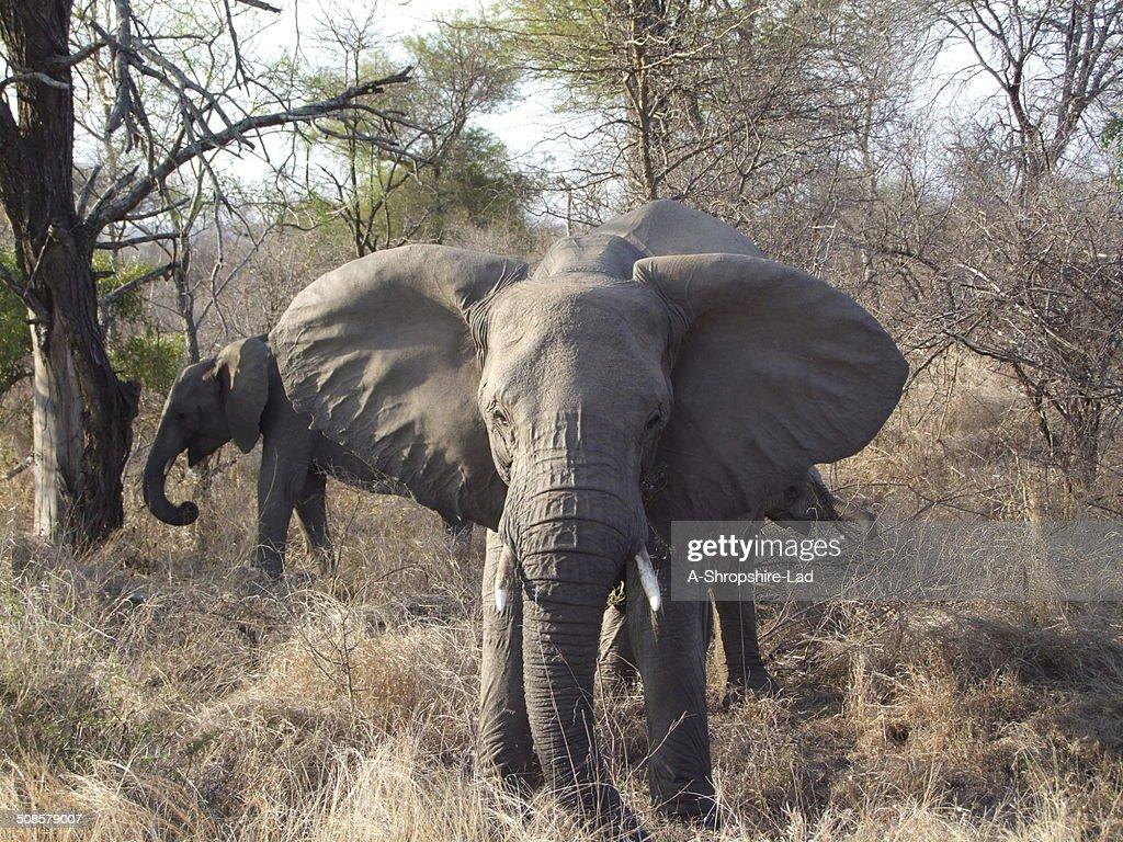 African Elephants 023 : Stock Photo