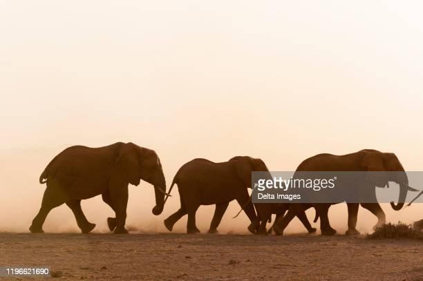 african elephants (loxodonta africana) and cub, amboseli national park, kenya - erbivoro foto e immagini stock