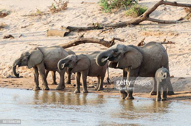 African Elephants and cub drinking at a river