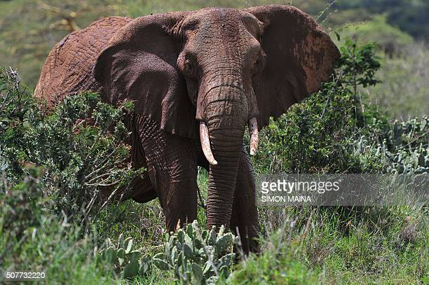 African elephants are pictured at the Mpala Research Center and Wildlife Foundation near Rumuruti Laikipia District Kenya on January 31 2016 / AFP /...