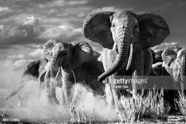 african elephants at amboseli national park in kenya. - zoology stock pictures, royalty-free photos & images