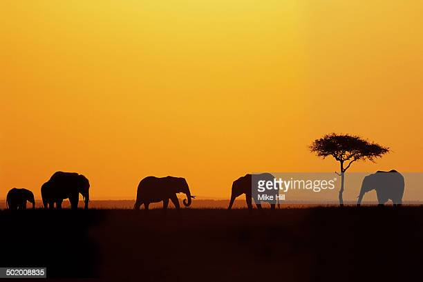 African Elephants at Sunrise