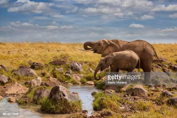 african elephants (loxodonta) by waterhole, masai mara, kenya - kenia stockfoto's en -beelden